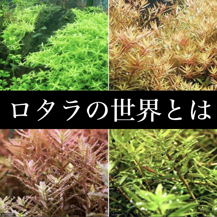 ◆水草ロタラの世界。どれを選べば良いのか調べたら・・・種類が多すぎた。