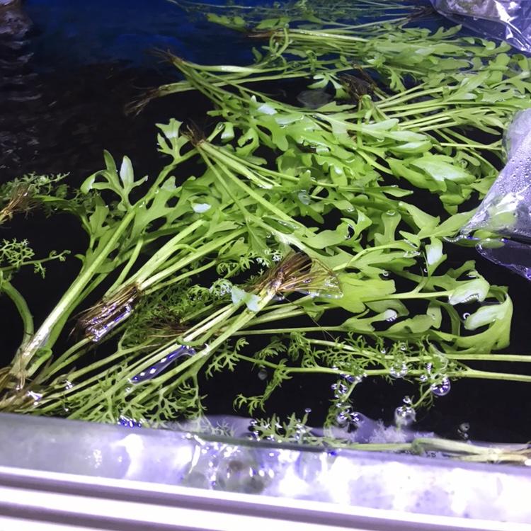 ◇『sakanaの日常』最近の水草たち
