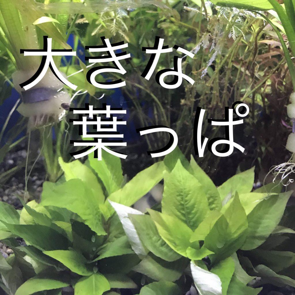 ◆ほんとうの初心者向けは?ラージリーフハイグロフィラorタイストリクタ・・・テンプル?人気の水草育成と選び方。