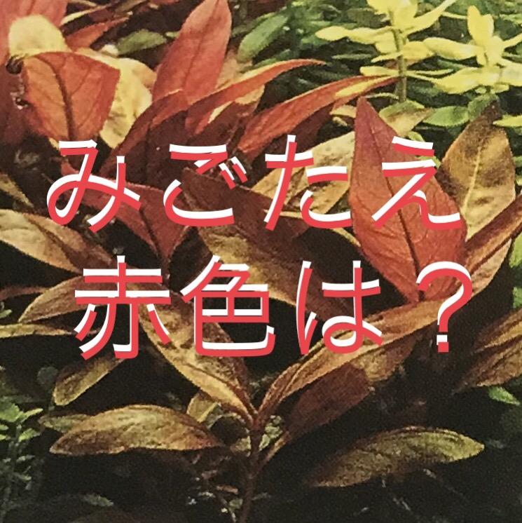 ◆赤色水草アルテルナンテラの定番4種類とは。レインキー、リラキナ、カージナリスの違いを見比べる。