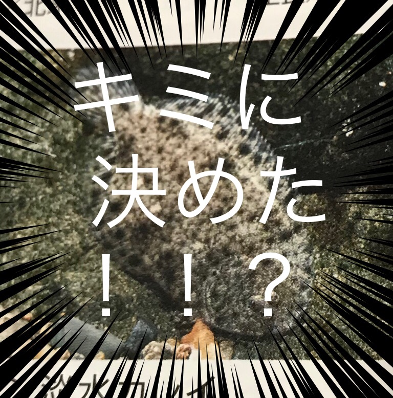 ◆はじめての淡水カレイの飼育と選び方。淡水カレイ(北米・南米・アジア)ヒラメやシタビラメって?!