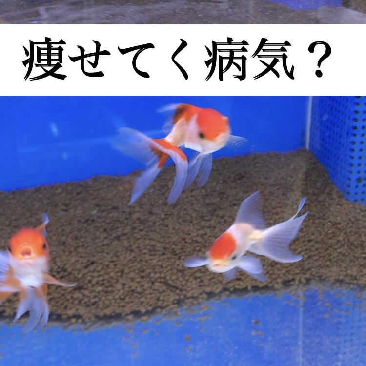 ◆熱帯魚・金魚・メダカが痩せてくる?4つの理由をあげてみた。