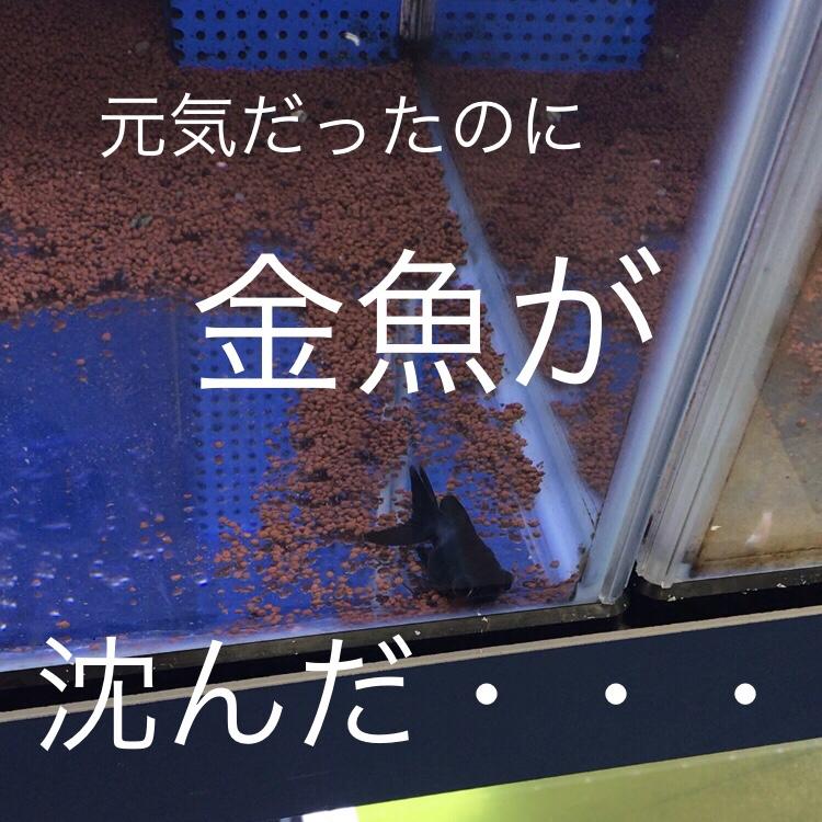 ◆出目金が沈んでしまった・・・。魚が出す不調のサインを読み取りましょう。