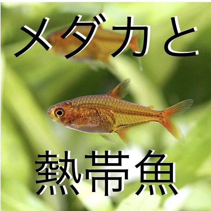 ◆メダカと熱帯魚一緒に飼育するには・・・色別でお勧めの組み合わせ紹介します。