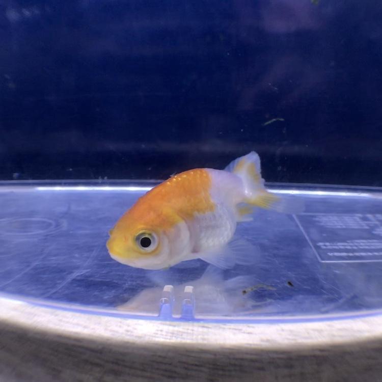 ◆金魚を1匹で飼育してる時に、元気が無さそうだから仲間を入れてあげると良いのか?
