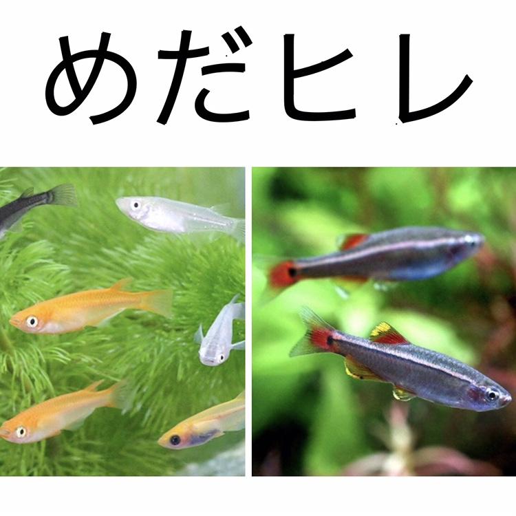 ◆メダカとアカヒレの混泳方法。飼育が簡単な2種は一緒に飼えますか?