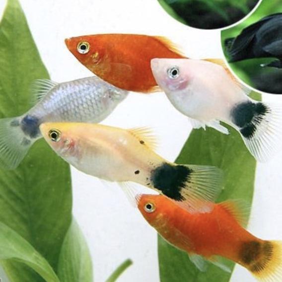 ◆プラティを飼っているのですが、一緒に混泳できる魚は?