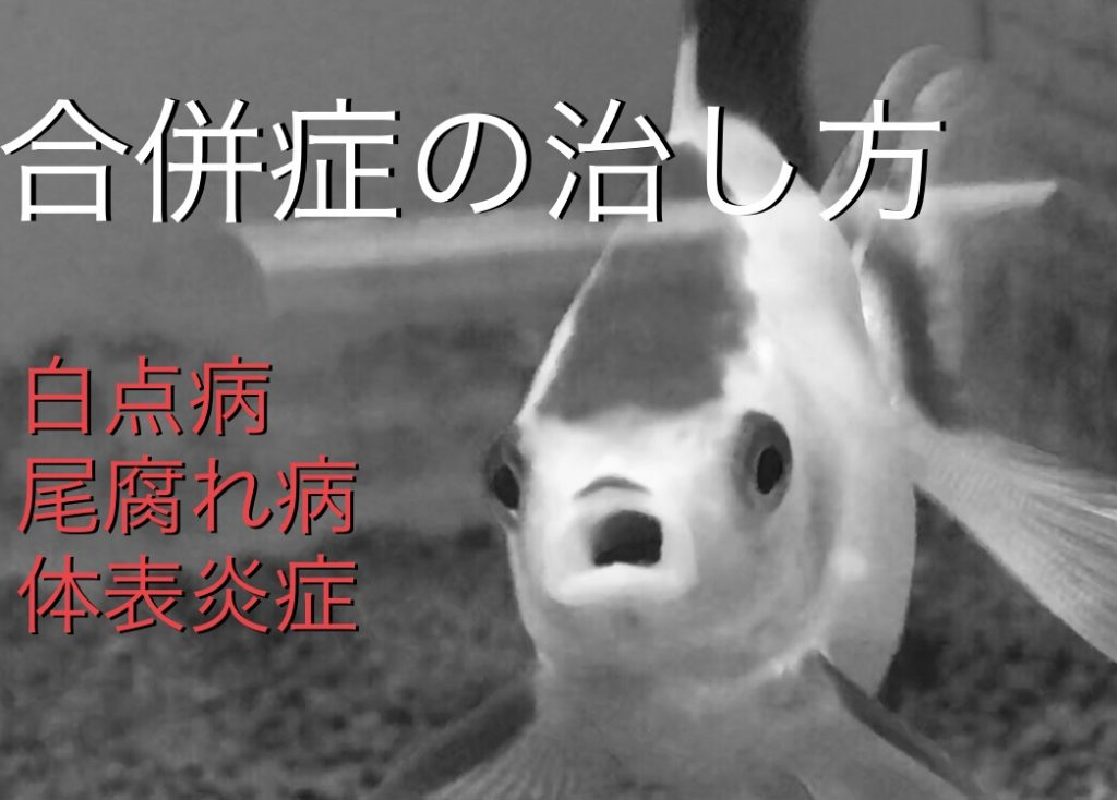 ◆【診療シリーズ】金魚の合併症治療。白点病・尾腐れ病・体表炎症。