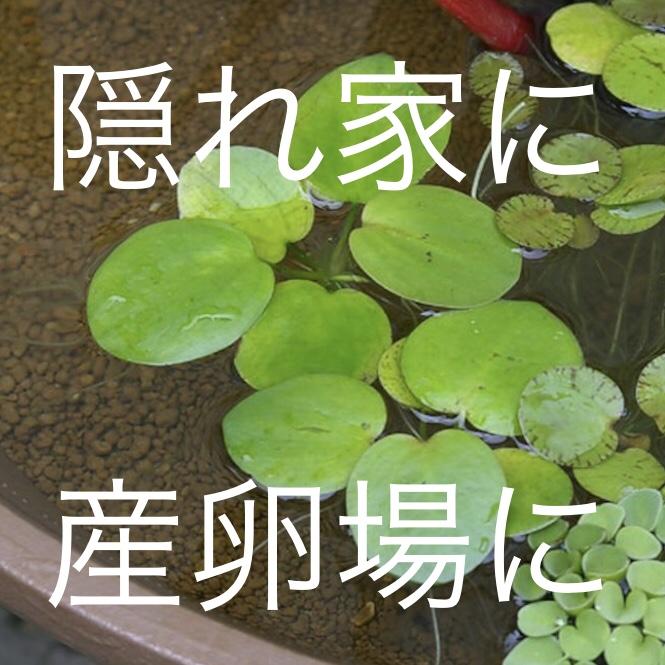 ◆メダカにはどんな水草を入れたら良いですか?『いけない水草』と『メダカに合う水草5大候補!』とは