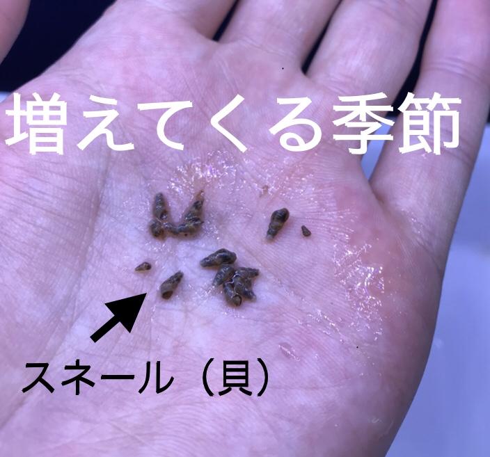 ◇『sakanaの日常』 暖かくなると貝も増えます。