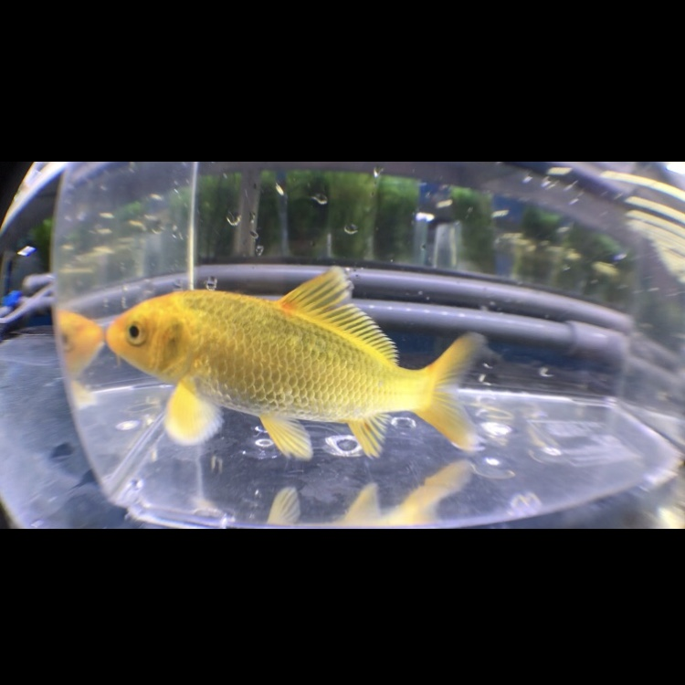 ◆『水槽で飼育する錦鯉』人気の品種をランキング☆☆☆本で見るのと実際の個体は違う??
