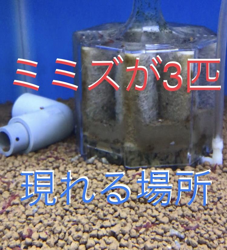 ◆ピンクイール・・・ミミズみたいなお魚の楽しみ方。