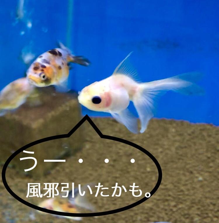◆魚の身体が赤くなってしまった・・・『細菌性皮膚炎』が出たら、僕はこうしている。