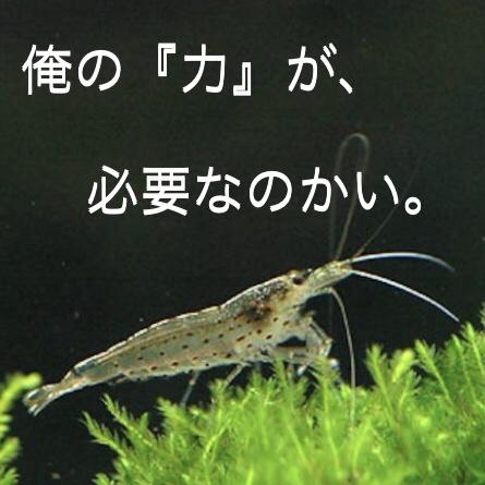 ◆ヤマトヌマエビの『大きさ』は気にしますか?繁殖やコケ取りに気になる疑問。