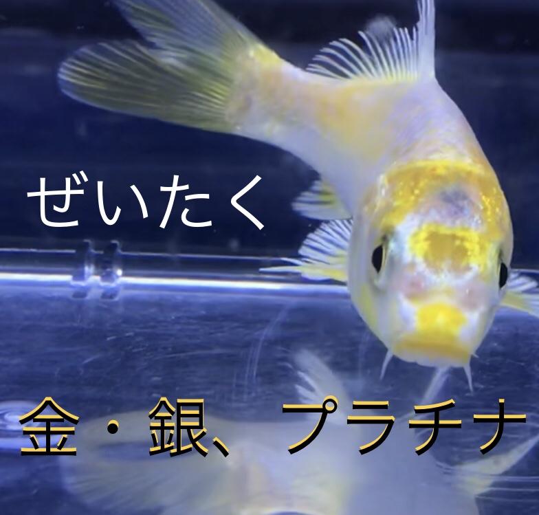 ◆錦鯉に金箔と銀箔で貼ってみた?張り分け黄金とは。光り模様と呼ばれる魚たち。