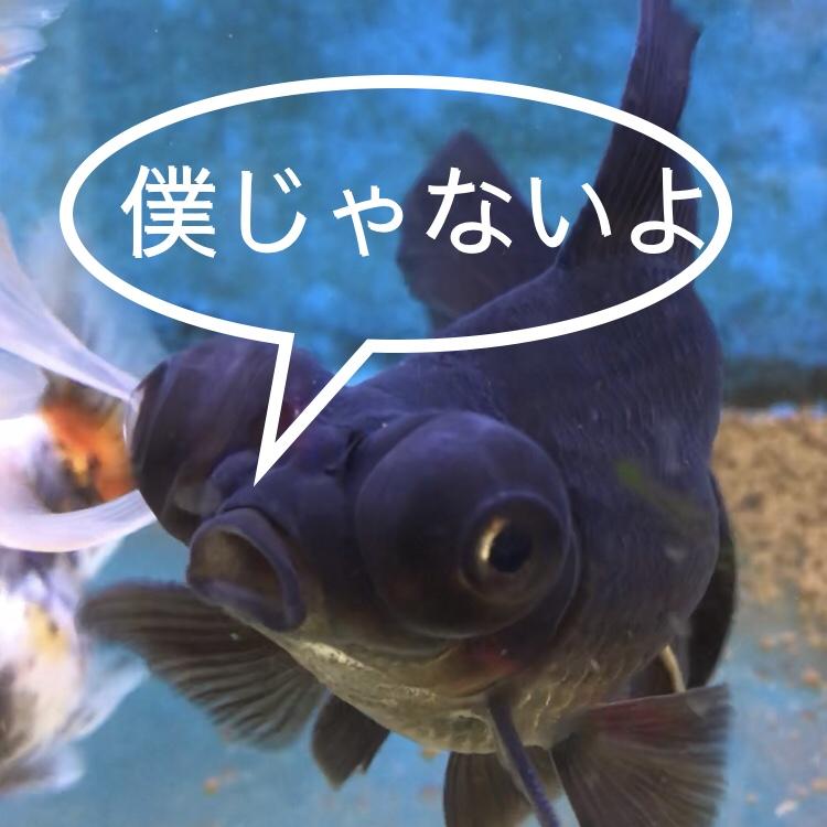 【小さな診療所】金魚のヒレが『オレンジ色』になった??病気によって表現はさまざまです。