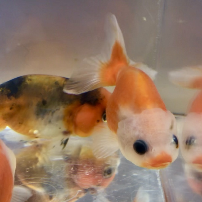 ◇『sakanaの日常』3連休は金魚祭りか?