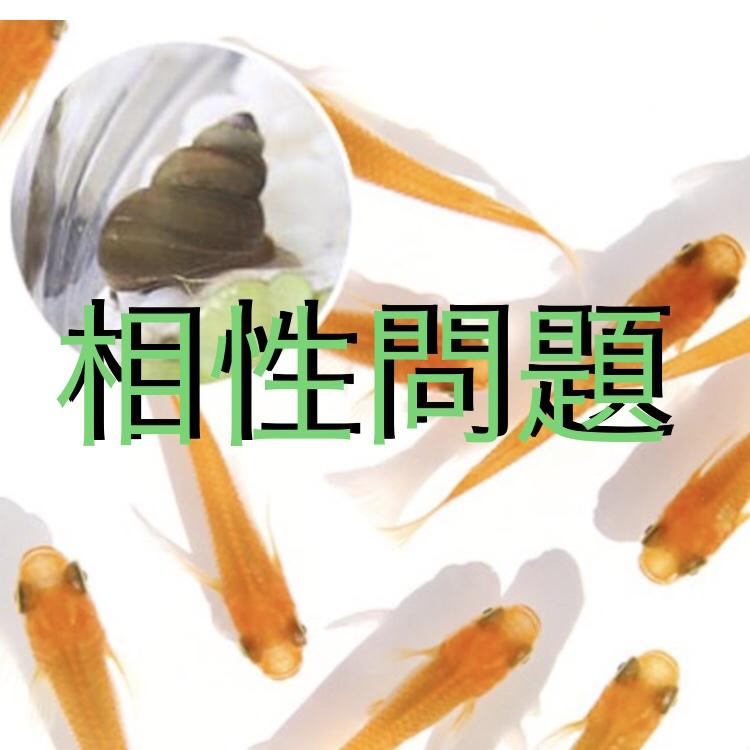 ◆メダカが居なくなって、タニシが増えるのはナゼナゼ?