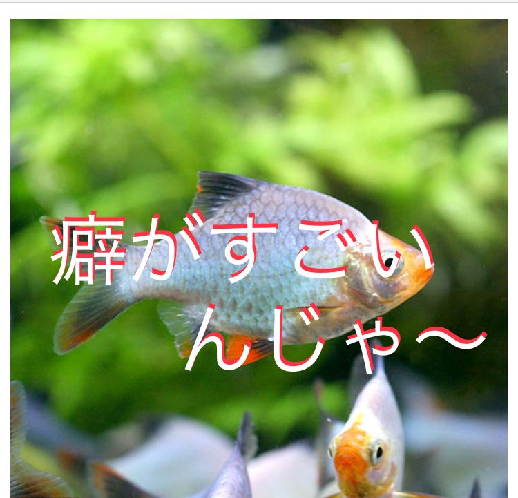 ◆おすすめしてない熱帯魚たち。サーペテトラ、スマトラ、レッドテールブラックシャーク・・・そのお魚大丈夫ですか?