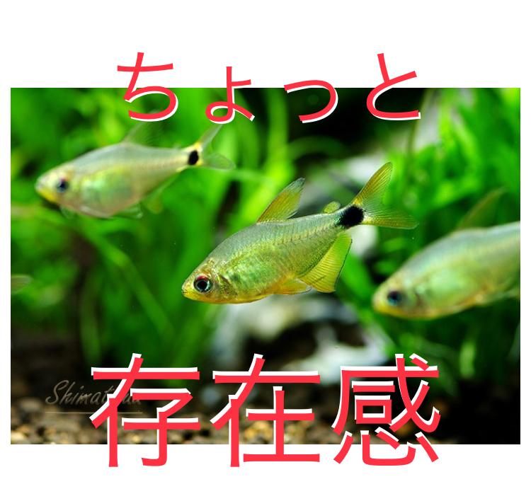 ◆熱帯魚の混泳で、ちょっと目を引く存在6品種。中層を好むネオンテトラの仲間たち。