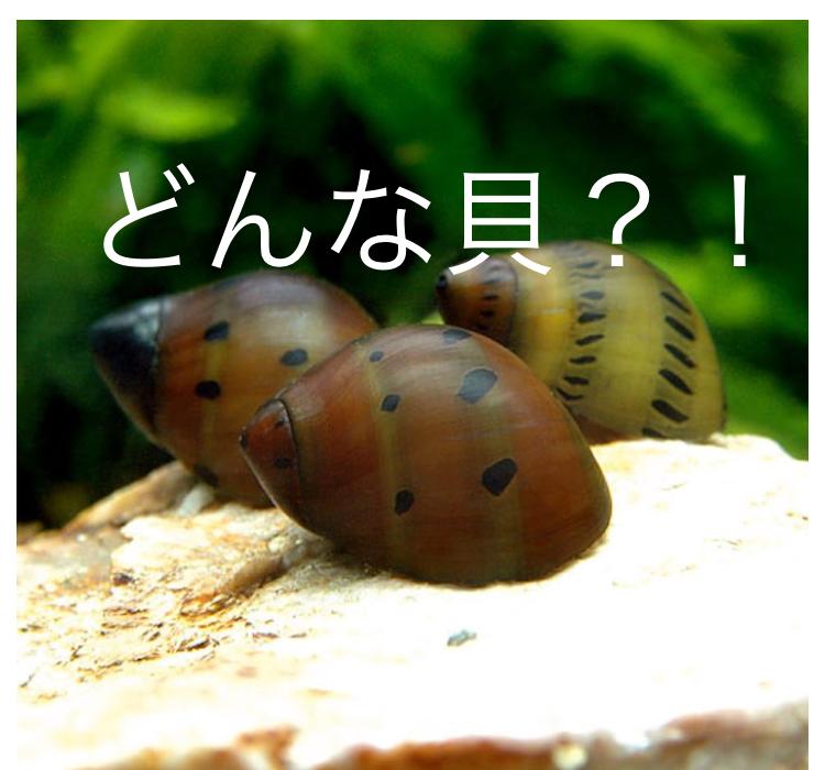 ◆アクアリウムの『貝類=スネール』 種類は意外と多い。石巻、タニシ、タイヤトラックにレッドラムズホーンと意外に綺麗なのも。