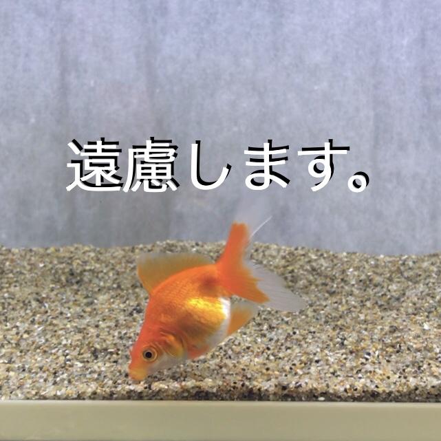 """◆コメットを、お勧めしない訳とは・・・金魚の混泳のコツとは。金魚すくいからの""""あるある""""問題。"""