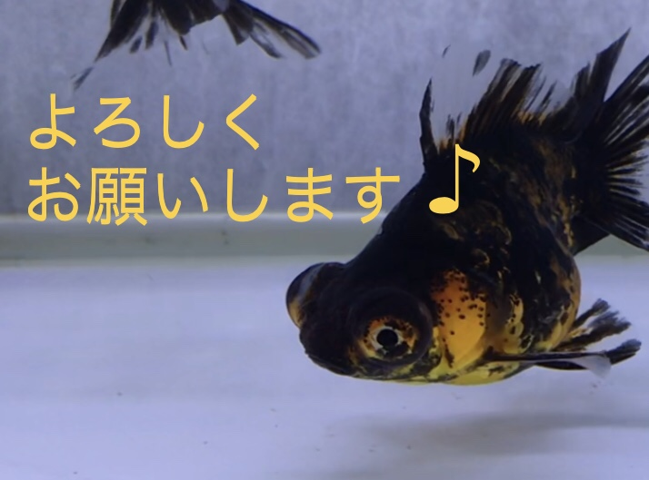 ◆なんで入れたの?! 今週の『金魚』入荷。