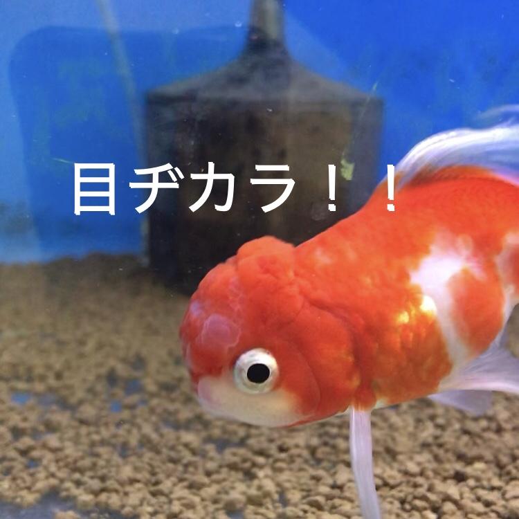 ◇『sakanaの日常』ヒレ曲がりでも・・・桜東錦(志村養魚場)