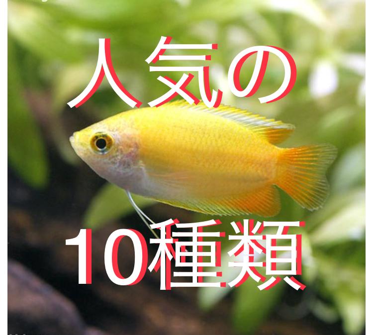 ◆人気のドワーフグラミーの仲間たち10種類!!混泳や飼育もしやすい熱帯魚