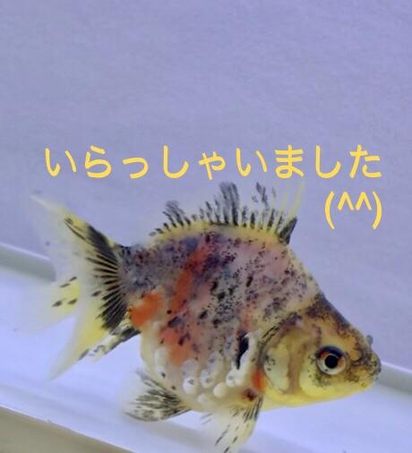 ◆【2018/8/31 ウチの金魚たち】 ホームセンターでも流通する種類!お値段・相場紹介。