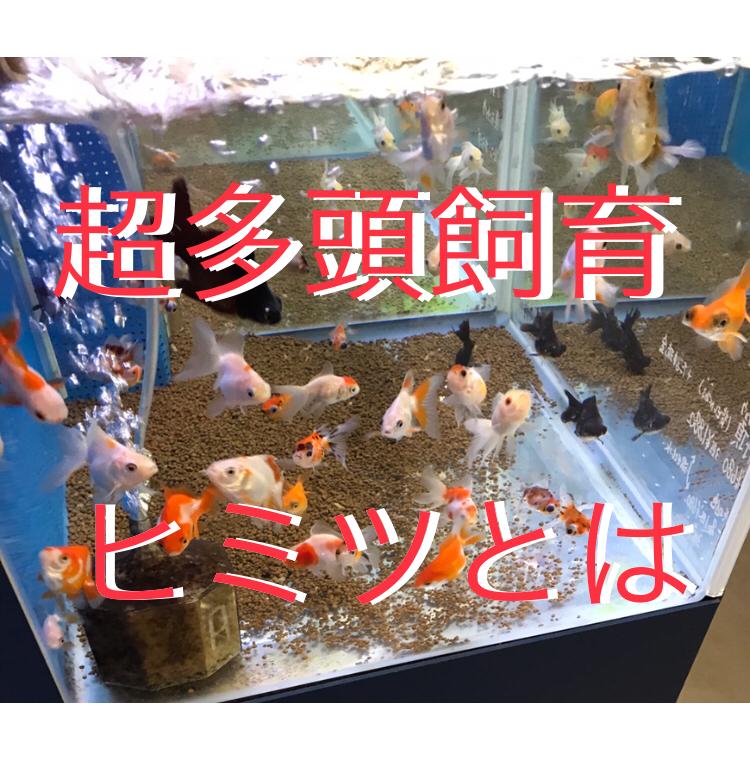 ◆金魚をたくさん飼う方法。一つの水槽に目安以上の超多頭飼育している秘密とは・・・
