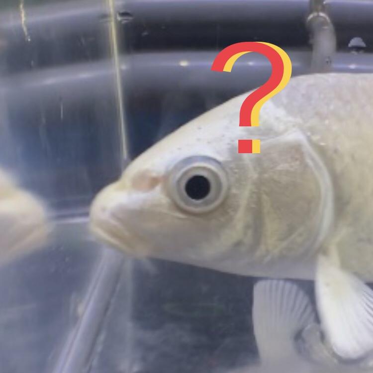 ◆その鱗(ウロコ)はそういう特徴です・・・いや病気かも。錦鯉・ドイツ鯉に見られる違い。皮膚病治療には熱帯魚・金魚・メダカも同様にケアしましょう。