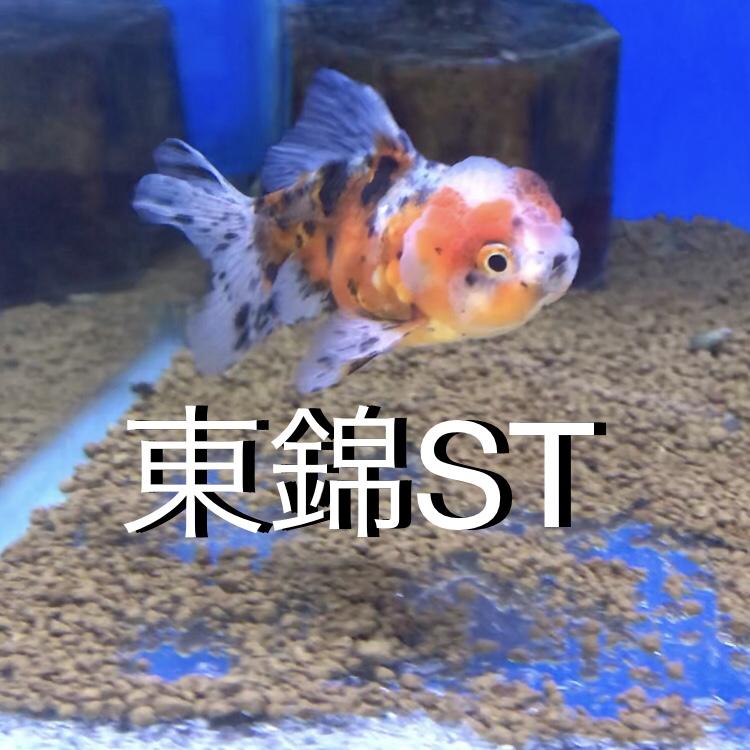 ◇『sakanaの日常』国産東錦ショートテールが当たり