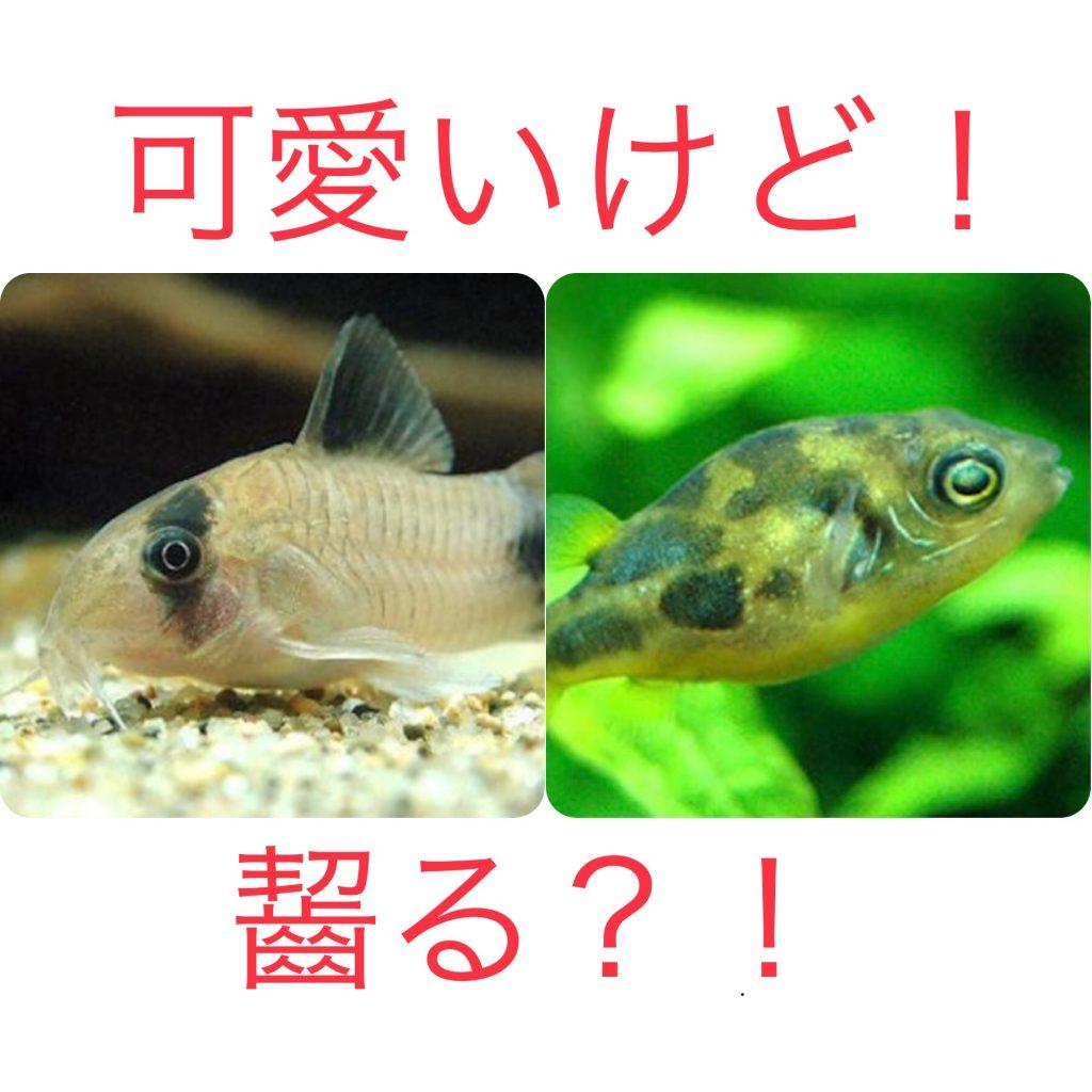◆アベニーパファーとコリドラスは一緒に飼えない。どうにか混泳する方法は?!