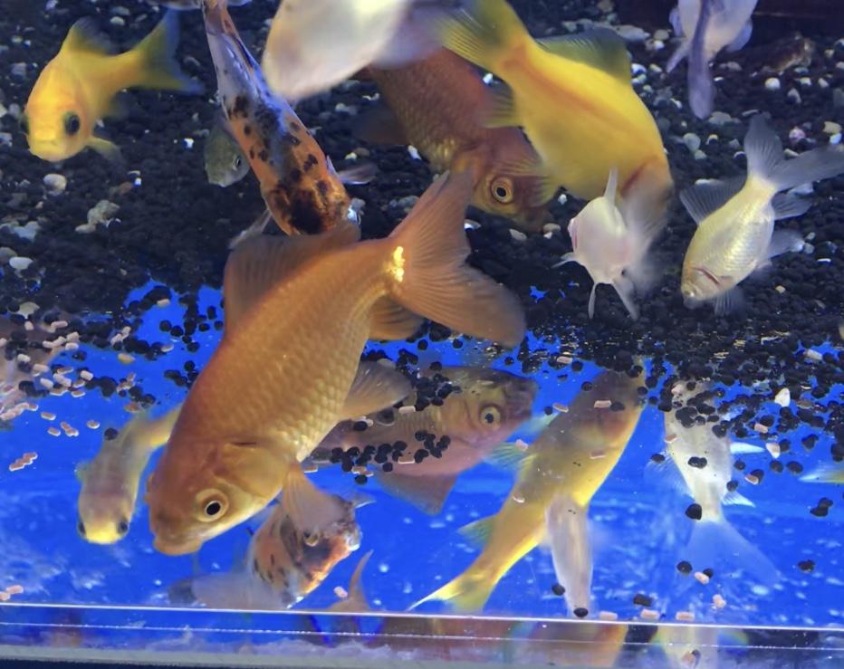 ◆金魚と一緒に飼ってはいけないオカヤドカリ、ウーパールーパー。そのままではいけない熱帯魚とは?