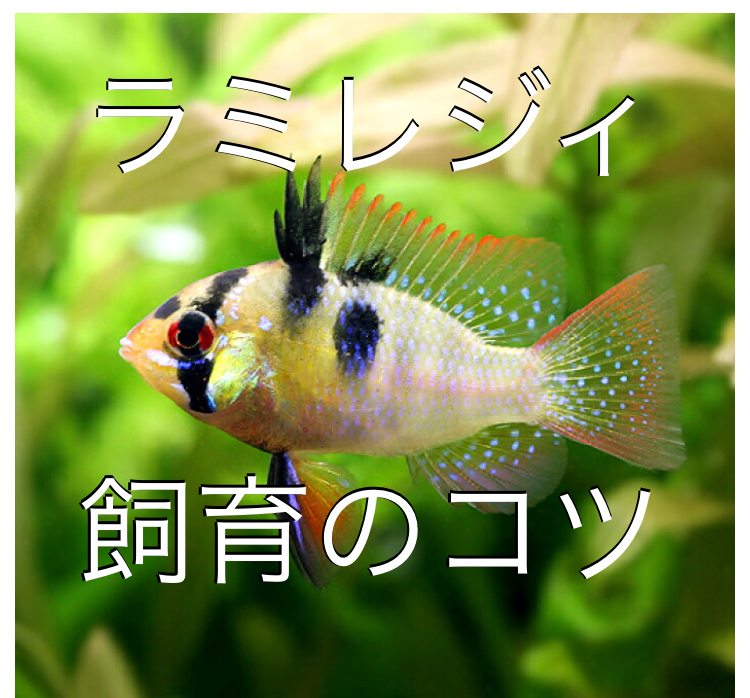 ◆ラミレジィが死んでしまうなら、水質に落とし穴があるかもしれない。はじめての飼育で失敗しないコツとは。