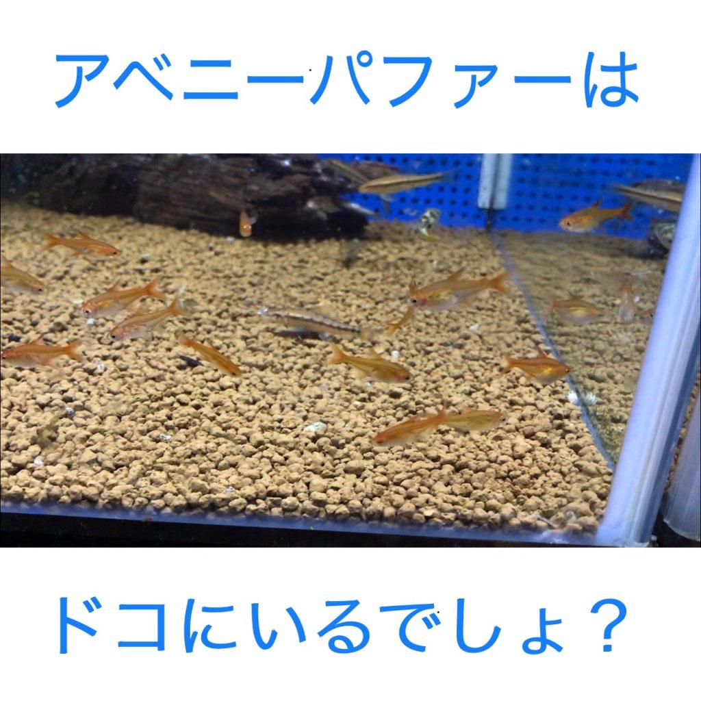 ◇『sakanaの日常』アベニーパファーの混泳資料