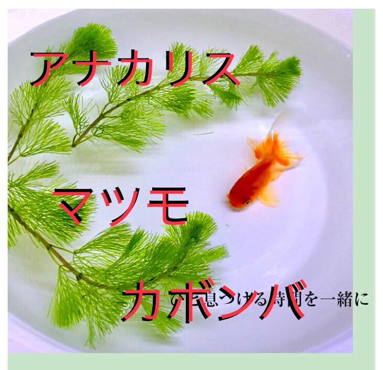 ◆カボンバ・アナカリス・マツモ(金魚藻)まとめ記事