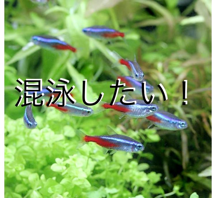 ◆熱帯魚の混泳4つのポイントとは。基礎的なネオンテトラから見る飼育バランス。