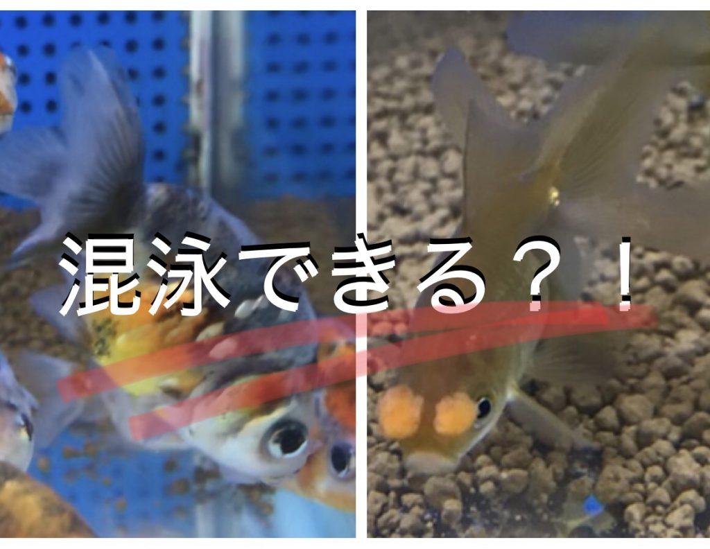 ◆【ウチの金魚】茶金花房たちとランチュウは混泳OK。通販でも見つけにくい魚はいる時に。