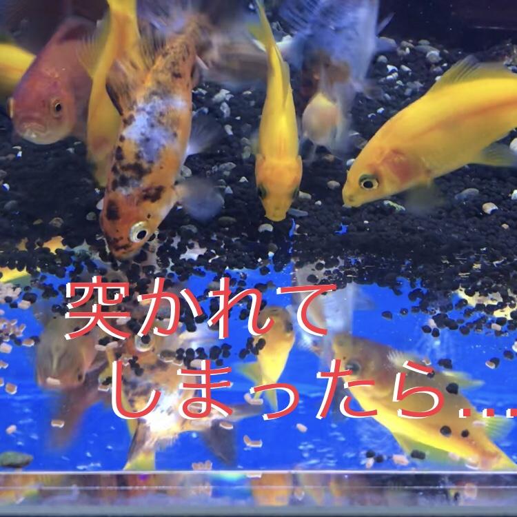 ◆もしも金魚が突かれてしまったら・・・空振りしない3つの対策をご紹介します。