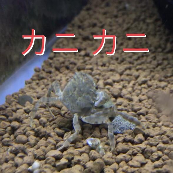 ◇『sakanaの日常』モクズガニ来ました。淡水で飼育できる日本のカニ。
