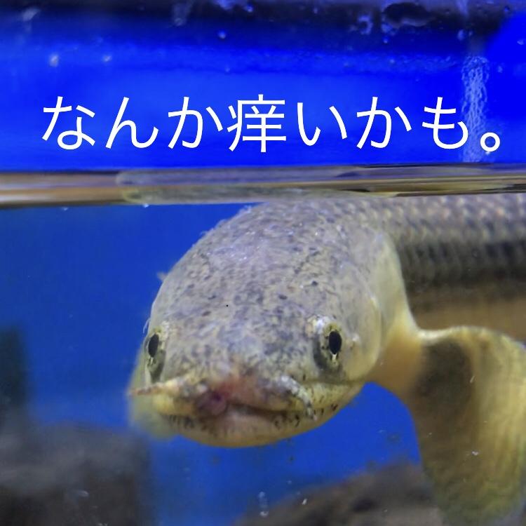 ◇『sakanaの日常』ポリプテルス・ローウェーに寄生虫。ポリプティ再び。