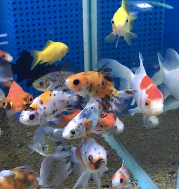 ◆冬場は金魚のオフシーズンではない?!実は良い個体が増えていた。