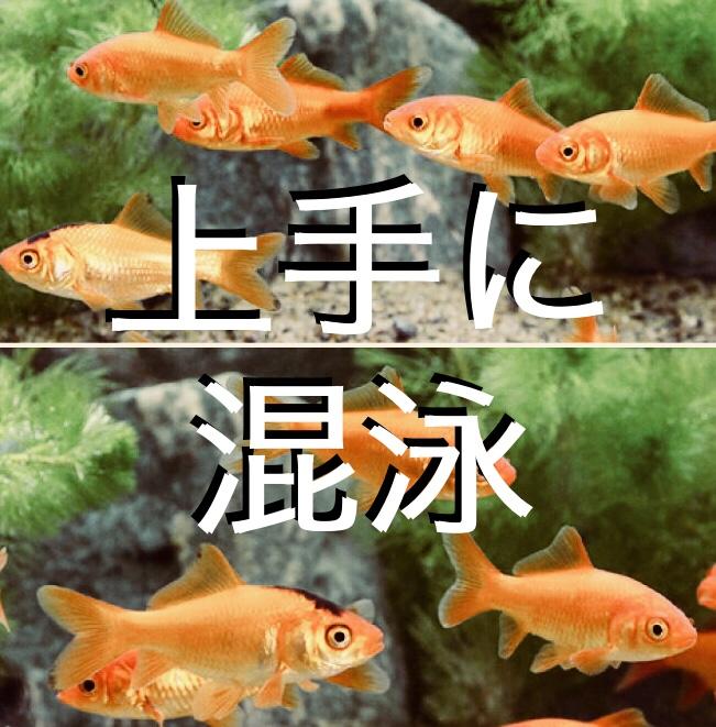 ◆金魚すくいの金魚を上手に混泳させる方法とは。小赤と出目金を一緒に飼いたい!