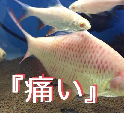◆【魚の病気治療】アルビノ チンホイルバルブの体表出血の原因とは。水質悪化とプレコに舐められてる??