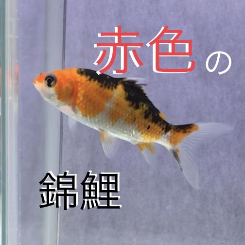 ◆【水槽で飼育する錦鯉たち】赤色を持つ錦鯉は、何がいますか?いろいろな品種の混泳を楽しもう。
