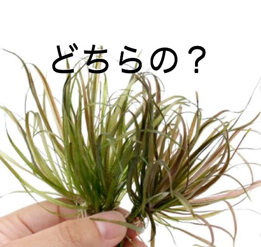 ◆ブリクサこの3種類を知っておく!人気の水草ブリクサ ショートリーフ,ジャポニカ、ロングリーフ。