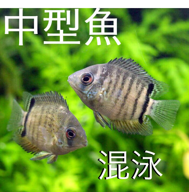 ◆【中型魚混泳術Part2】熱帯魚の混泳させる選び方。シクリッドではセベラムが合わせやすい。オリジナルアクアリウムの管理。