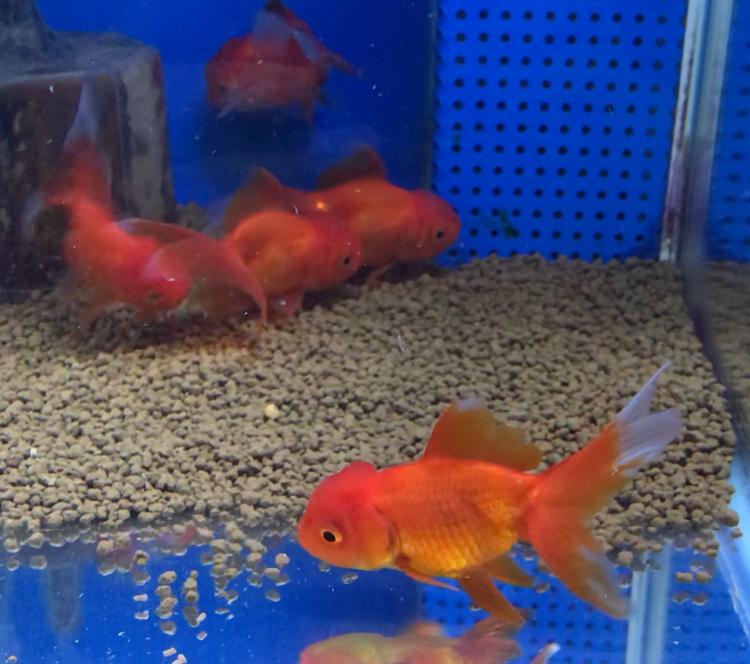 ◇『sakanaの日常』飯田オランダってどうなの?ブランドな金魚様のおでましです。